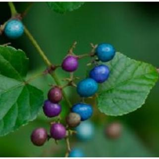 porecelain berry.jpg