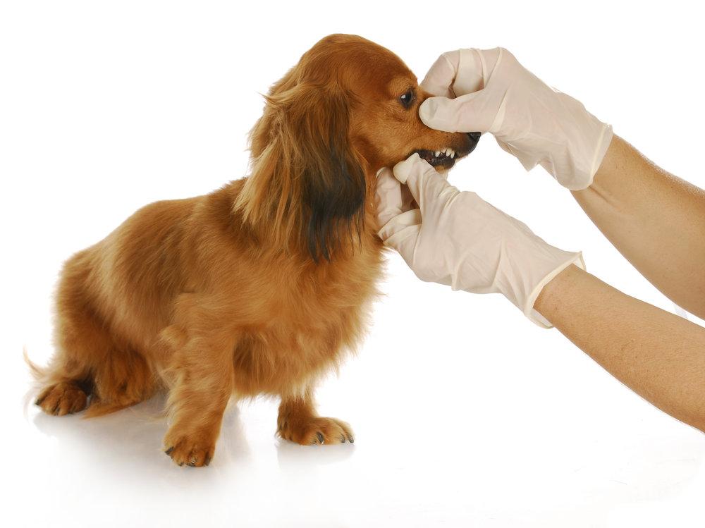 Dog-having-teeth-examined.jpg
