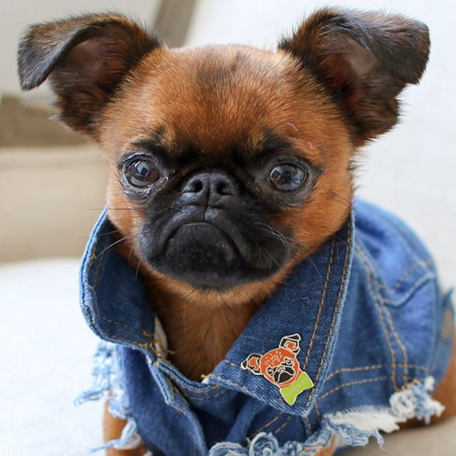We are excited to announce a very special collab with our awesome friend @brussels.sprout / Together we've created a limited edition SPROUT pin and will donate 100% of the proceeds to the National Brussels Griffon Rescue / Get yours now for only $10 / only 140 pieces / link in bio! / love you pouty Sproutie!