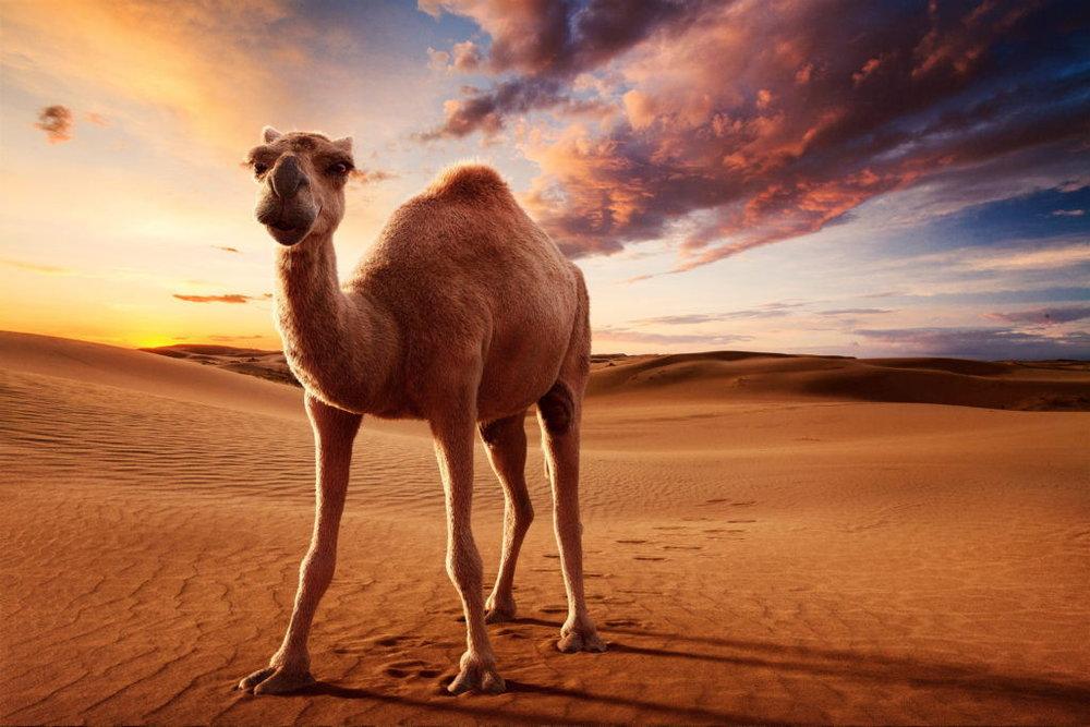 desert-camel-final-1024x683.jpg