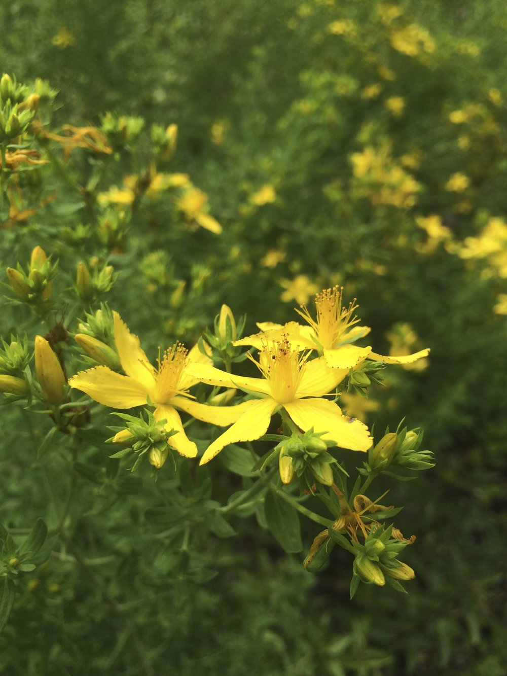 St. John's Wort blooming in the medicinal herb garden.