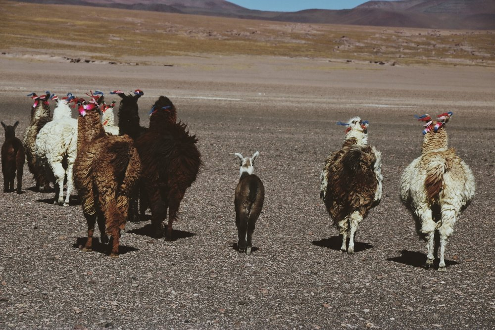 Alpacas in Bolivia.