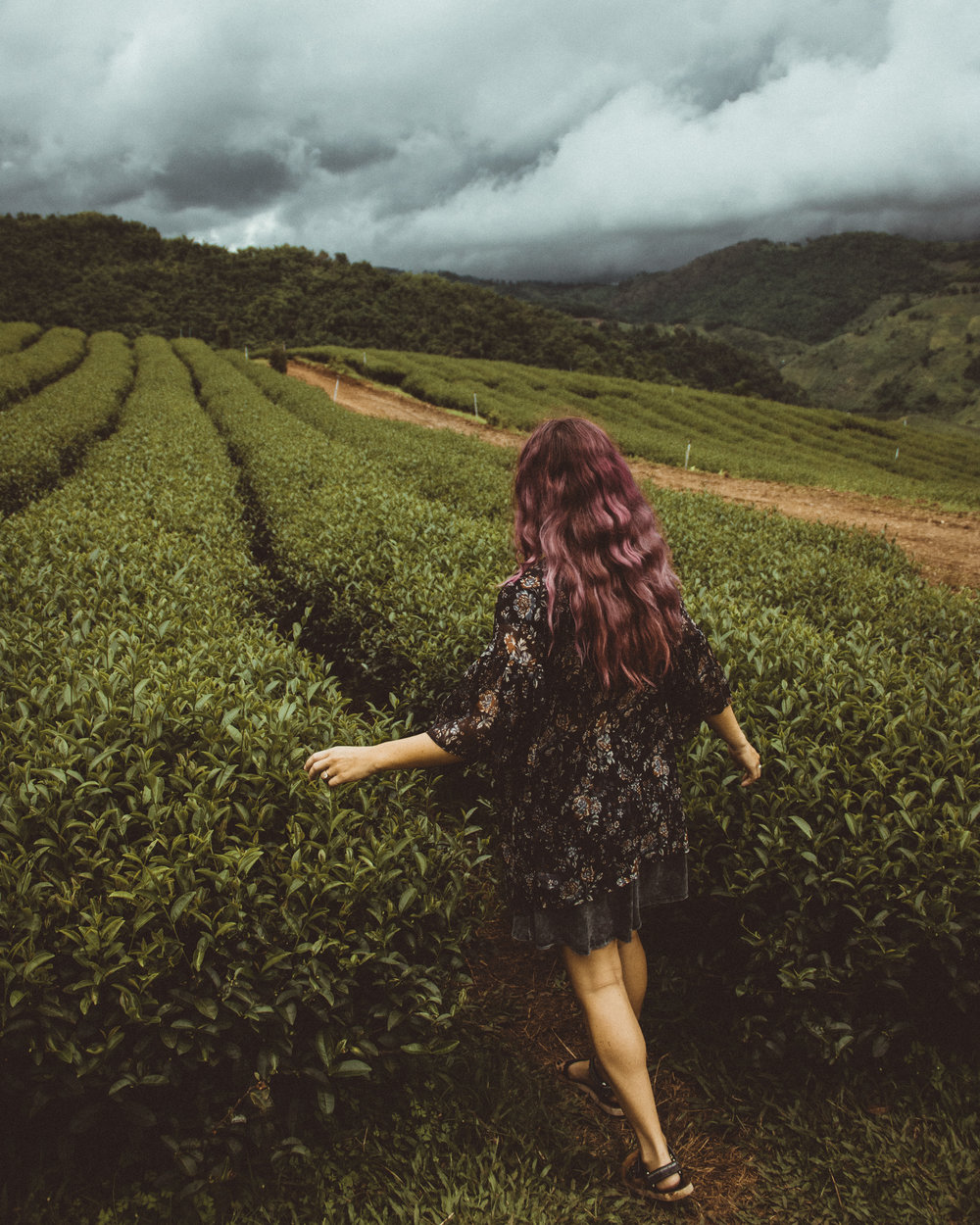 Green Tea fields in Mae Salong.