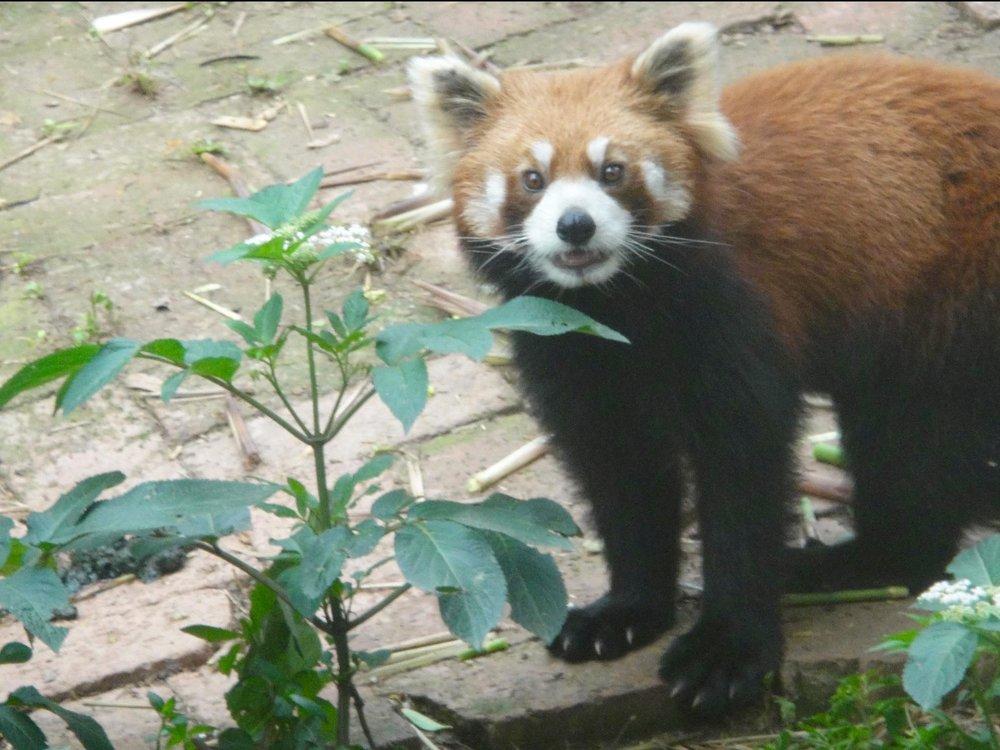 Red Panda at Chengdu Panda Base