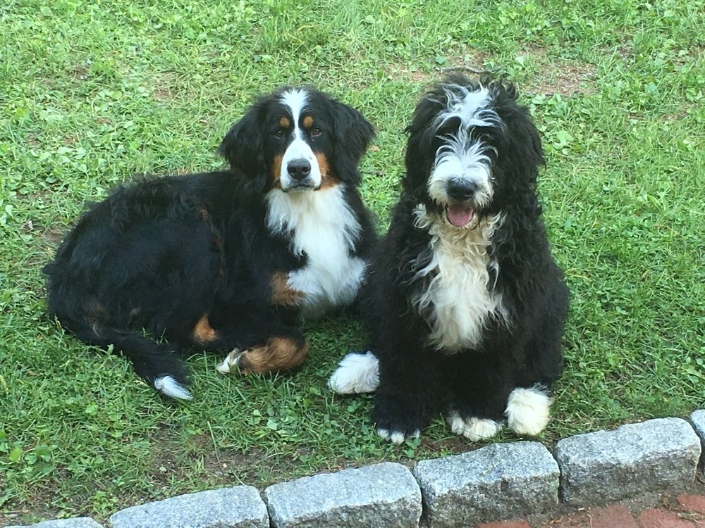 Freya & Kismet - What's a shop without a shop-dog or two! We're thrilled to welcome Freya (left) (means Goddess of love, beauty and Destiny) a female Bernese Mountain Dog born January 2016 and Kismet (right) (means fate or Destiny) a male Bernerdoodle born November 2017 to our crew. Freya and Kismet were adopted from a rescue in Indiana. They grew up together and we think they may be 1/2 siblings. They have hugs paws and huge hearts and are here to greet you when you stop by!