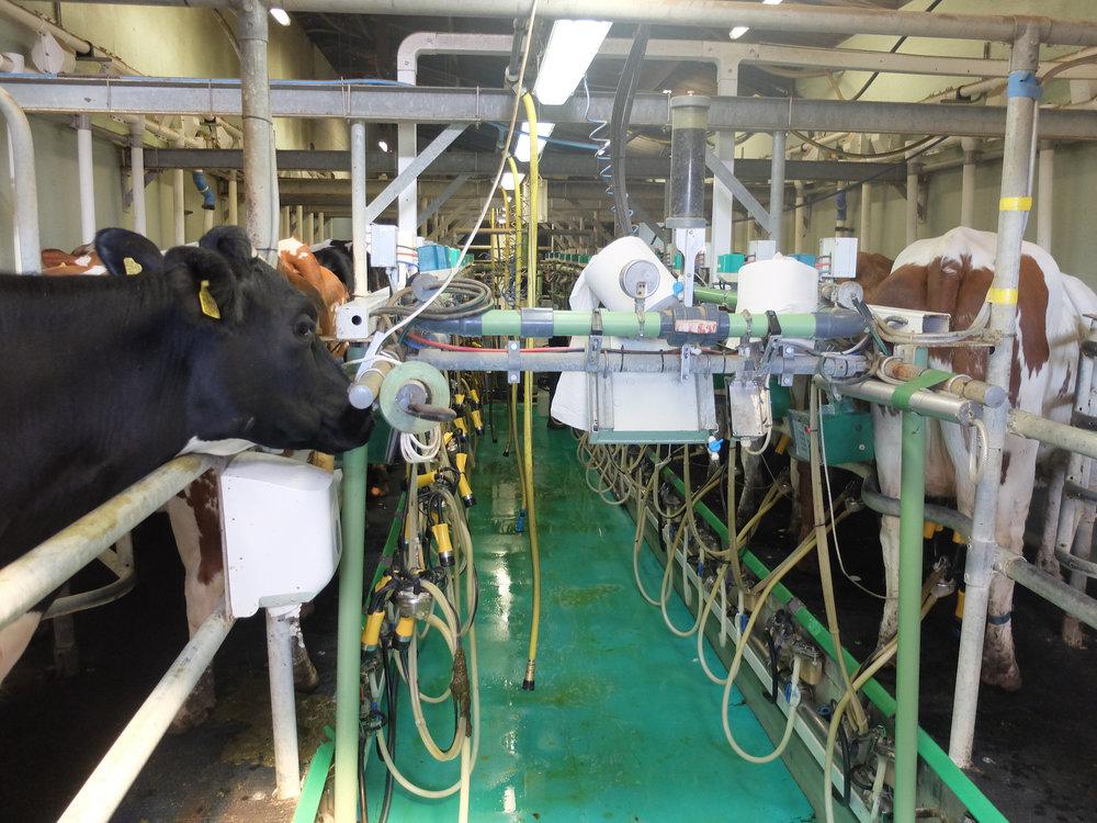 The Milking Parlour at Fen Farm