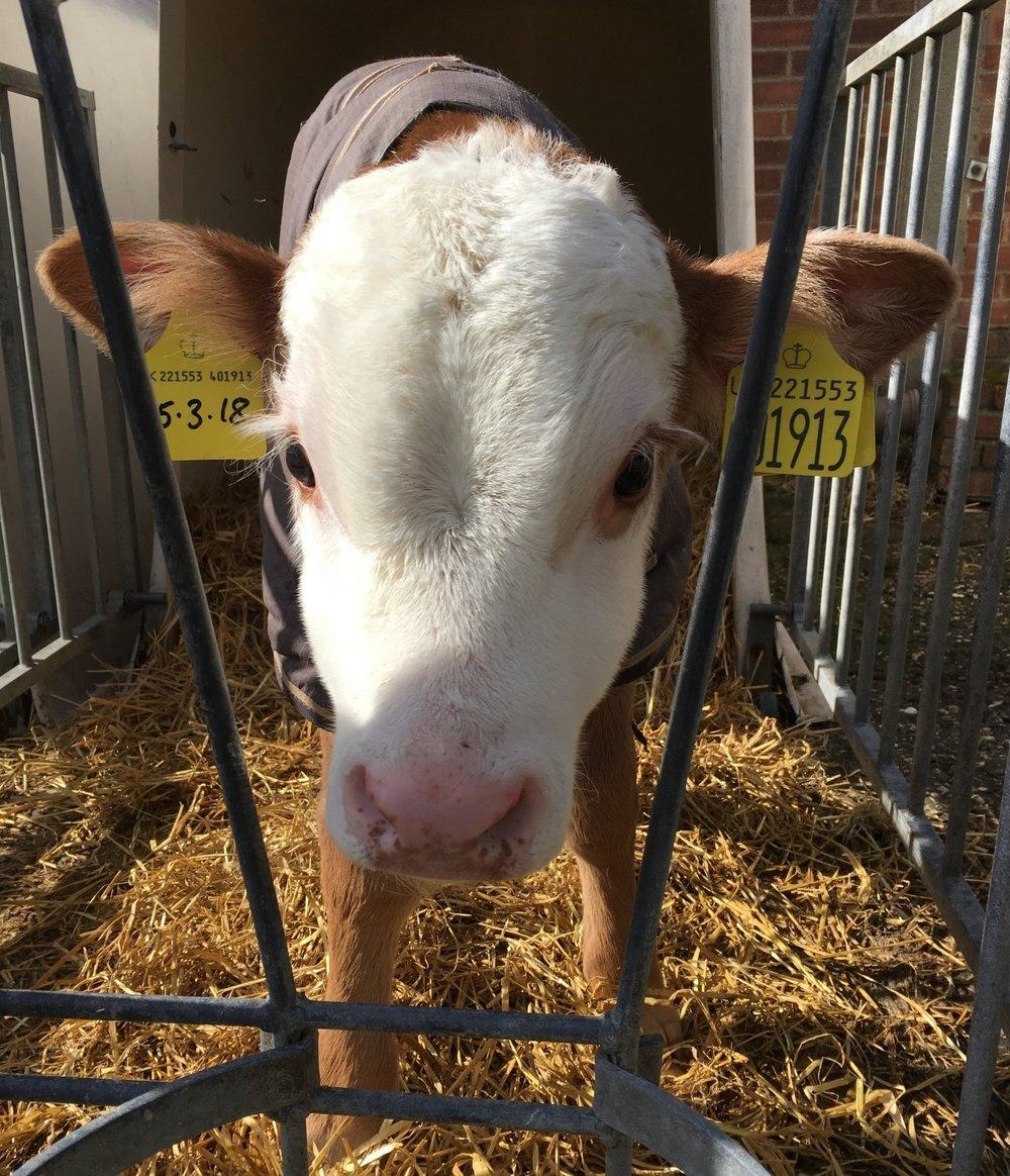 Copys Farm calf.JPG