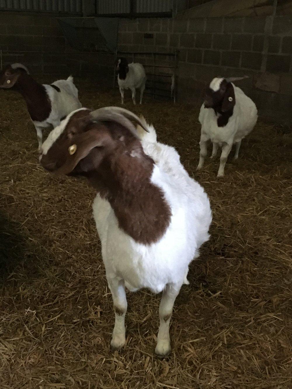 Mardler goat.JPG