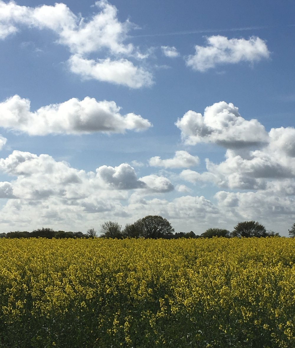 Suffolk Farmhouse rapeseed field.JPG