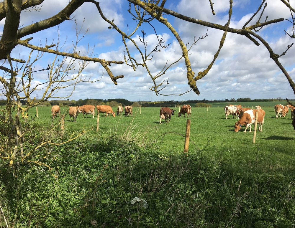 Suffolk Farmhouse cows in field.JPG