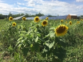 Sunflowers in sunflower field in front of solar panel field with blue skies overhead