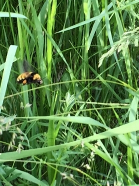 Bee buzzing in between blades of grass