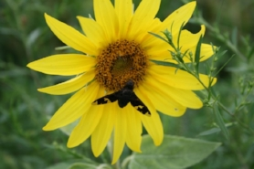 Bee pollinating yellow sunflower