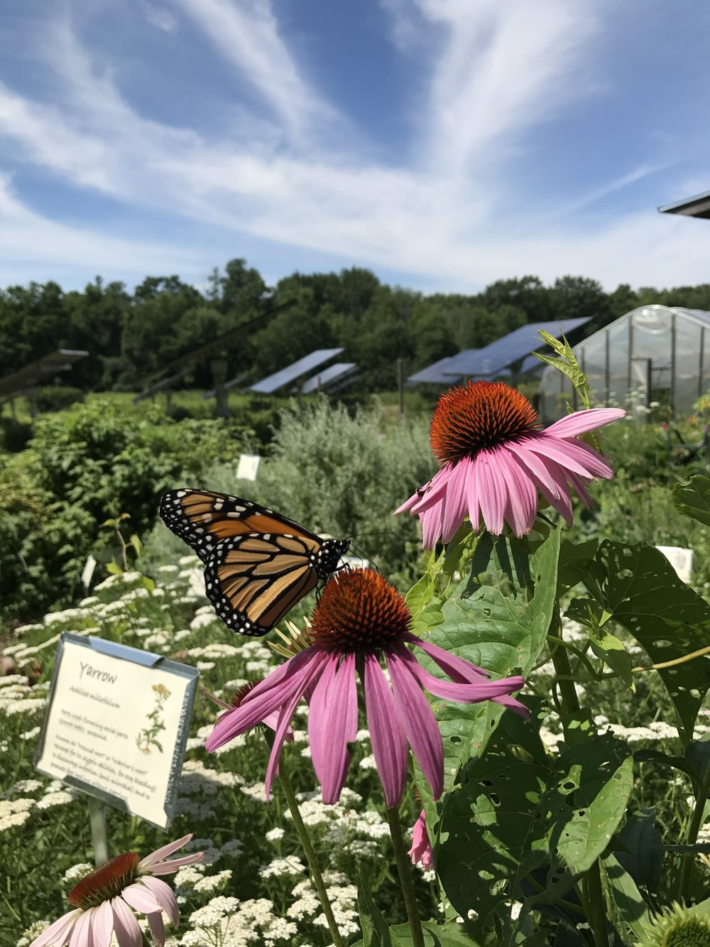 Monarch butterfly resting on echinacea at the Rock Point School.