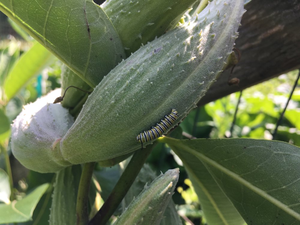 Look for monarch caterpillars and butterflies in your own yard or garden! They grow up fast!