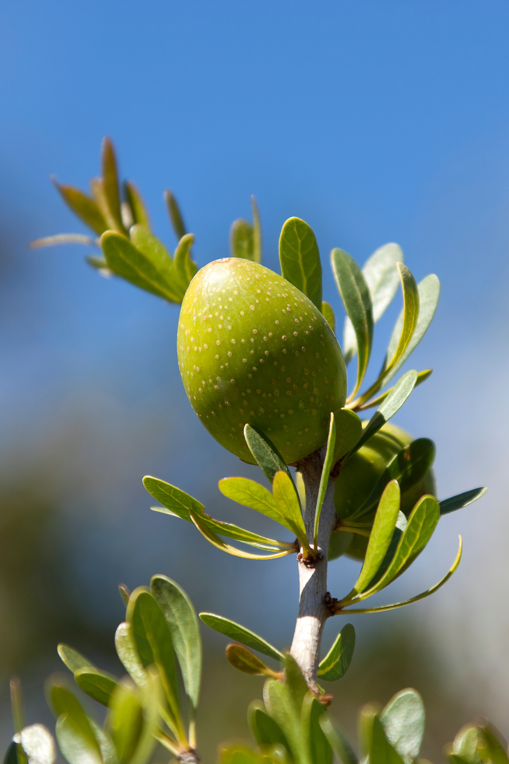 Provenance Meals - Why Argan Oil is So Special - Blog.jpg