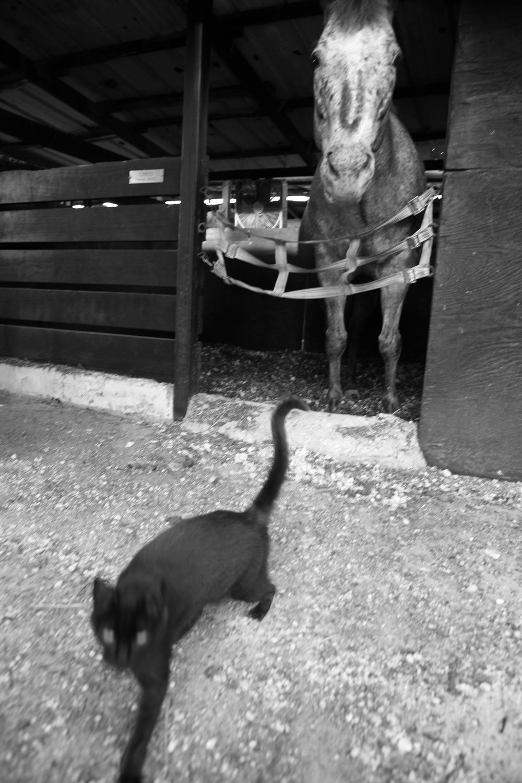 ss2500newhorse cat.jpg
