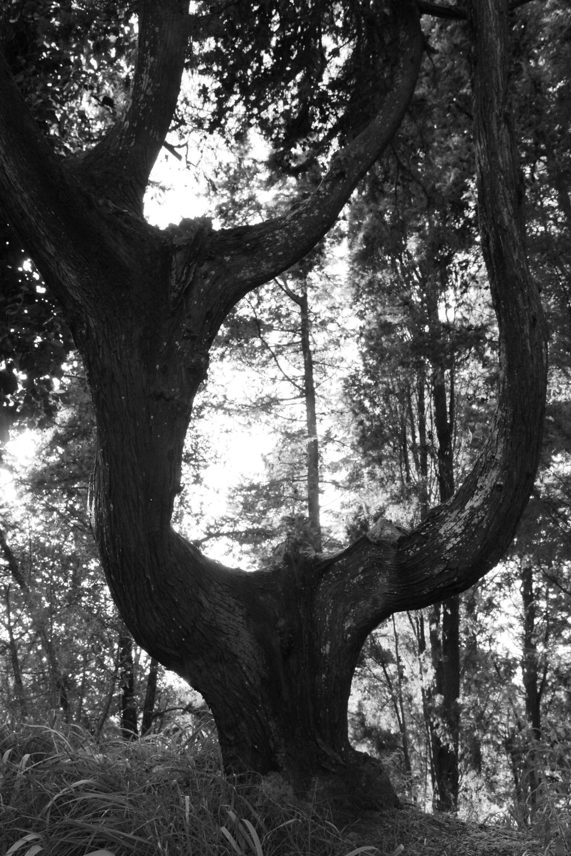 ss 8x12 olive tree 1 tuscany.jpg