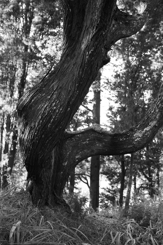 ss 8x12 olive tree 2.jpg