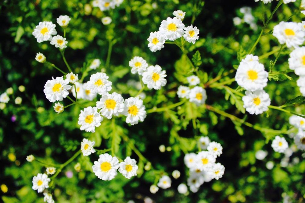treecrop daisys