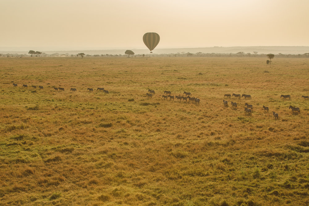 The tail end of the Great Migration. Zebra making its way towards Kenya