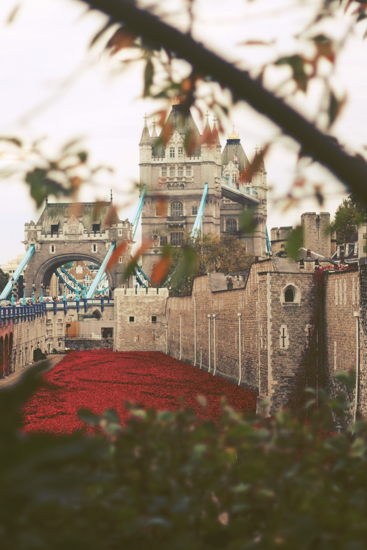 towerpoppies