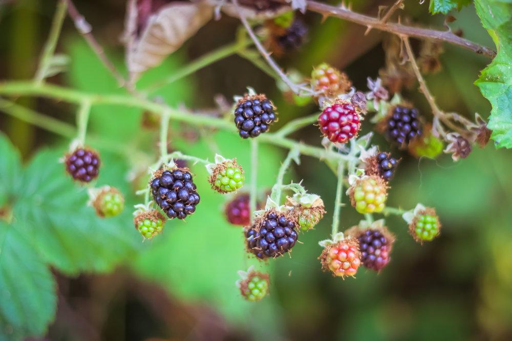 Blackberries-10.jpg