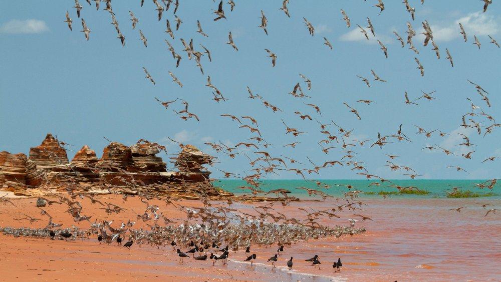 Shorebirds on Roebuck Bay.jpg