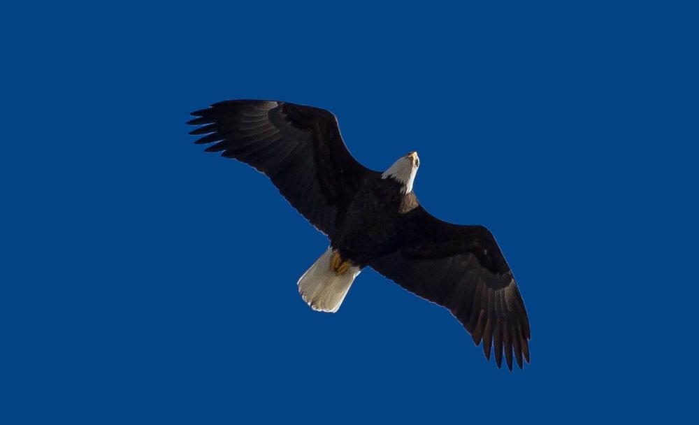 NH Bald Eagle passes overhead