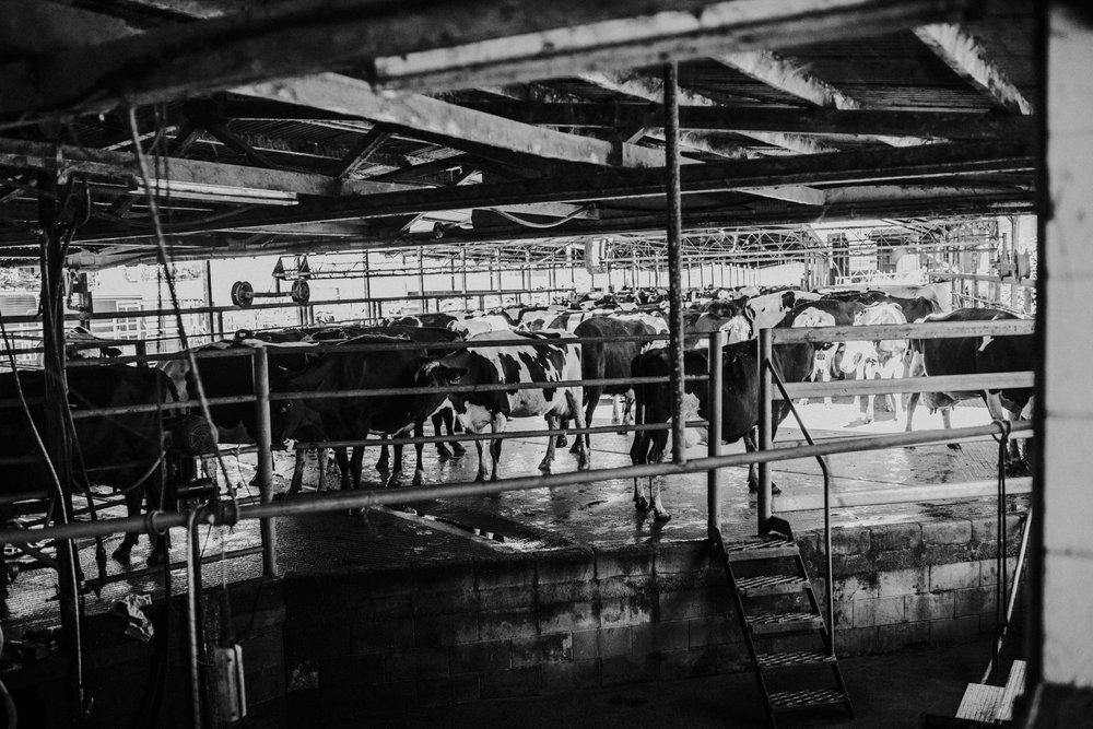Gallo's Dairy Farm