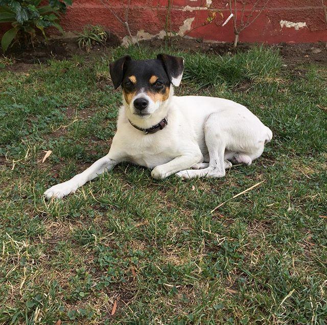 Fermín de 10 años. #siemprejoven, #doggy, #foxterrier