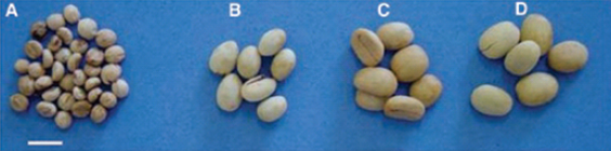 Figure 2 from Eira et al., 2006 Coffea seeds of different sizes. A- C.  racemosa ; B- C.  canephora ; C- C.  arabica ; D- C.  liberica . The bar corresponds to 1cm.   Image used with permission from Coffee Seed Physiology, Braz J. Plant Physiol., 18(1):149-163, 2006