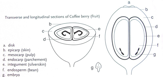Figure 1.1 Coffee cherry (fruit). From Wintgens, J. N.: Coffee: Growing, Processing, Sustainable Production. Page 4. 2009. Copyright Wiley-VCH Verlag GmbH & Co. KGaA. Reproduced with permission.