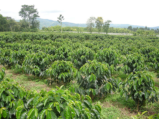 coffee-plants-field.jpg