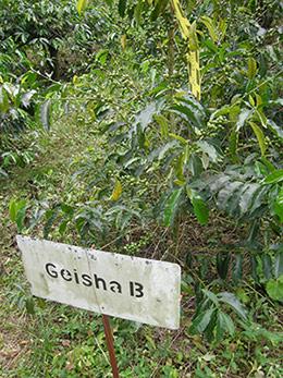 geisha-b-plant.jpg