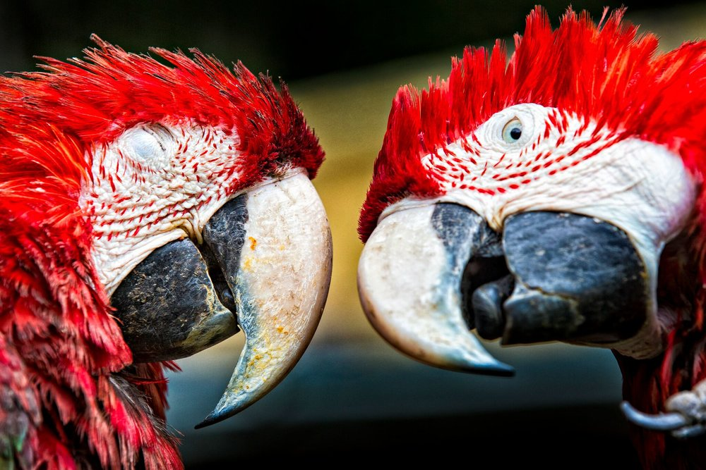 PHOTO: TRACEY BUYCE  Birds, and especially parrots, are the most highly trafficked animals in the world, with over 4,000 species being traded worldwide.