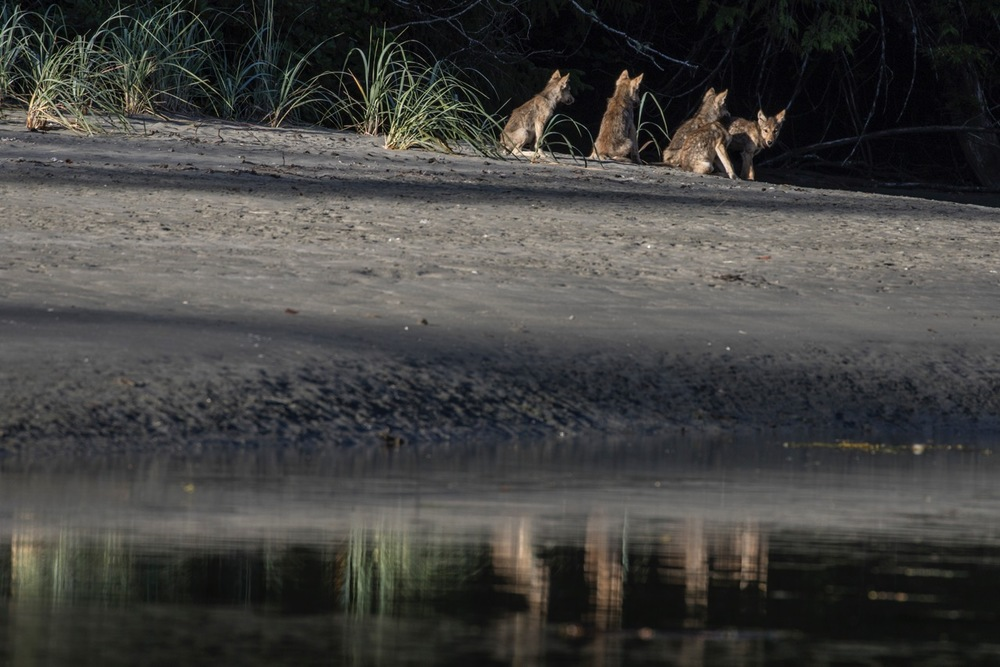 YOUNG WOLF CUBS REFLECTED OFFSHORE.  PHOTO: CRISTINA MITTERMEIER