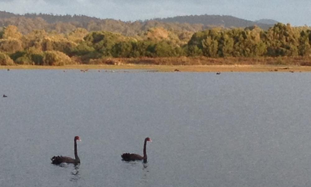 Black swans on Springlawn lagoon