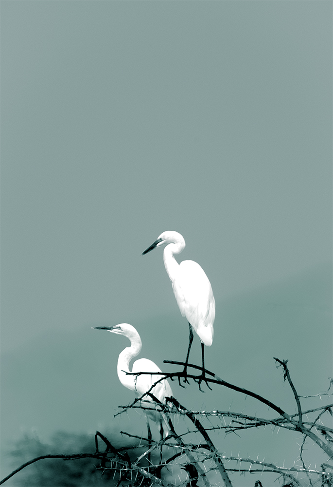 Greater egrets - at an African Waterhole