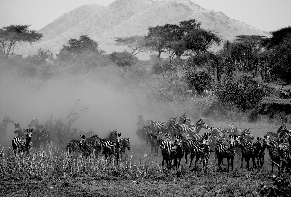 Equus Quagga - Serengheti, Tanzania