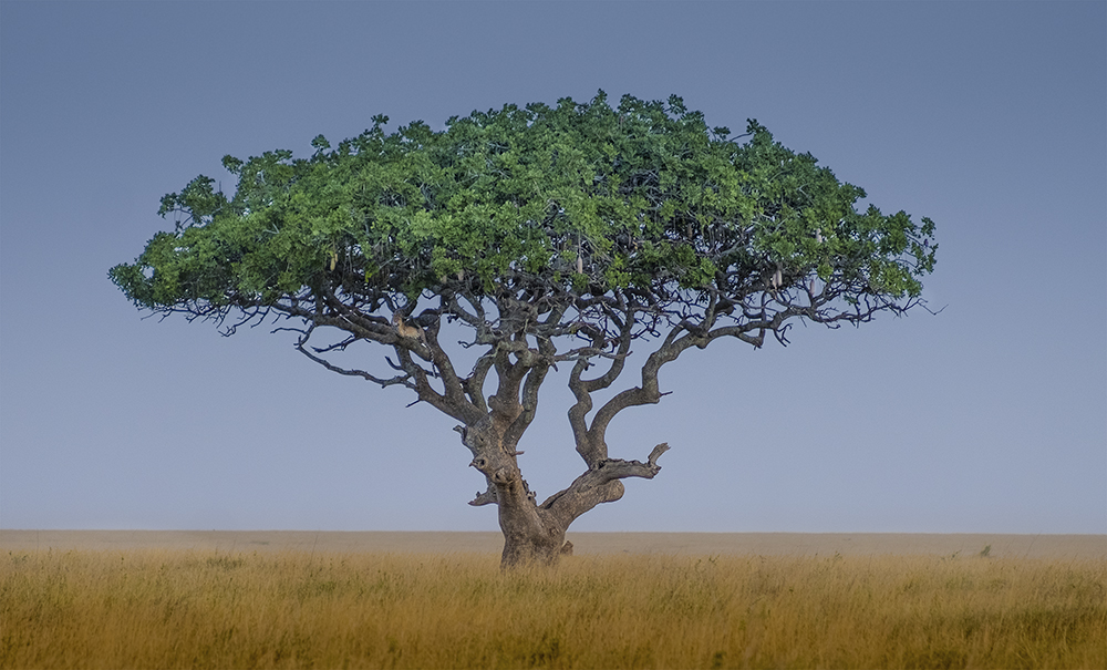 Leopard tree -
