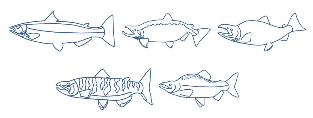 salmon rows.jpg