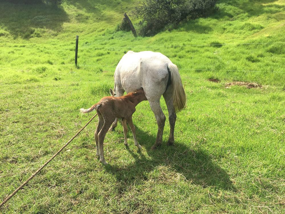 Baby Horse born (25-Sep-2017)...