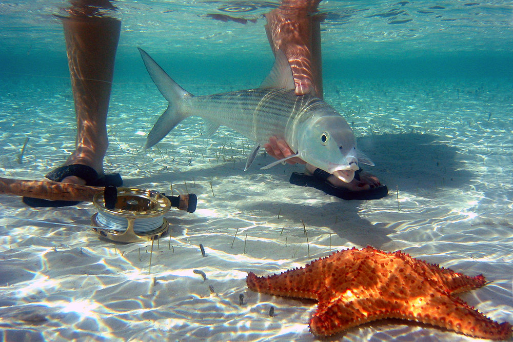 Bonefish and starfish off Grand Bahama
