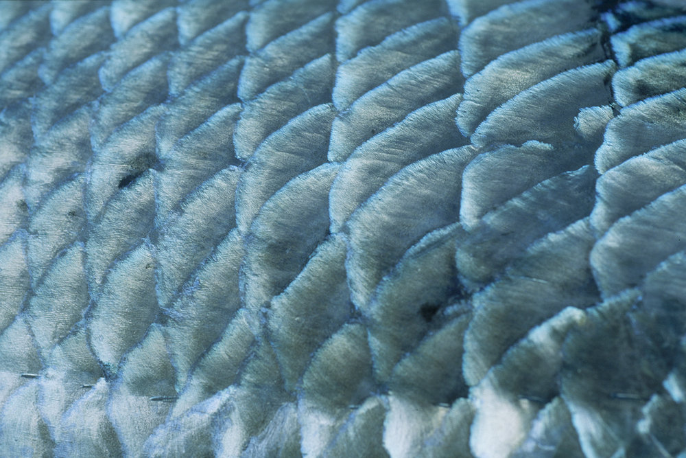 Bonefish scales