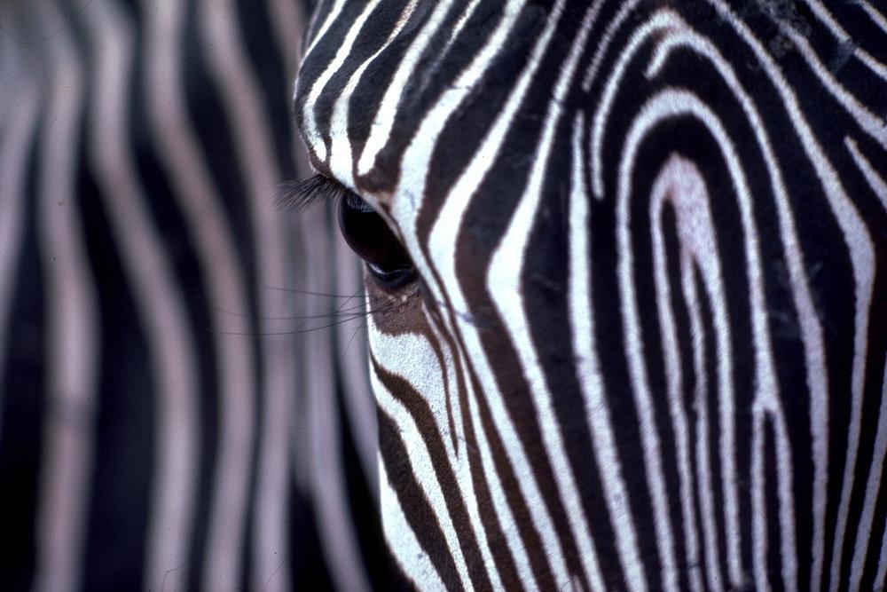 Zebra in Masi Mara, Kenya