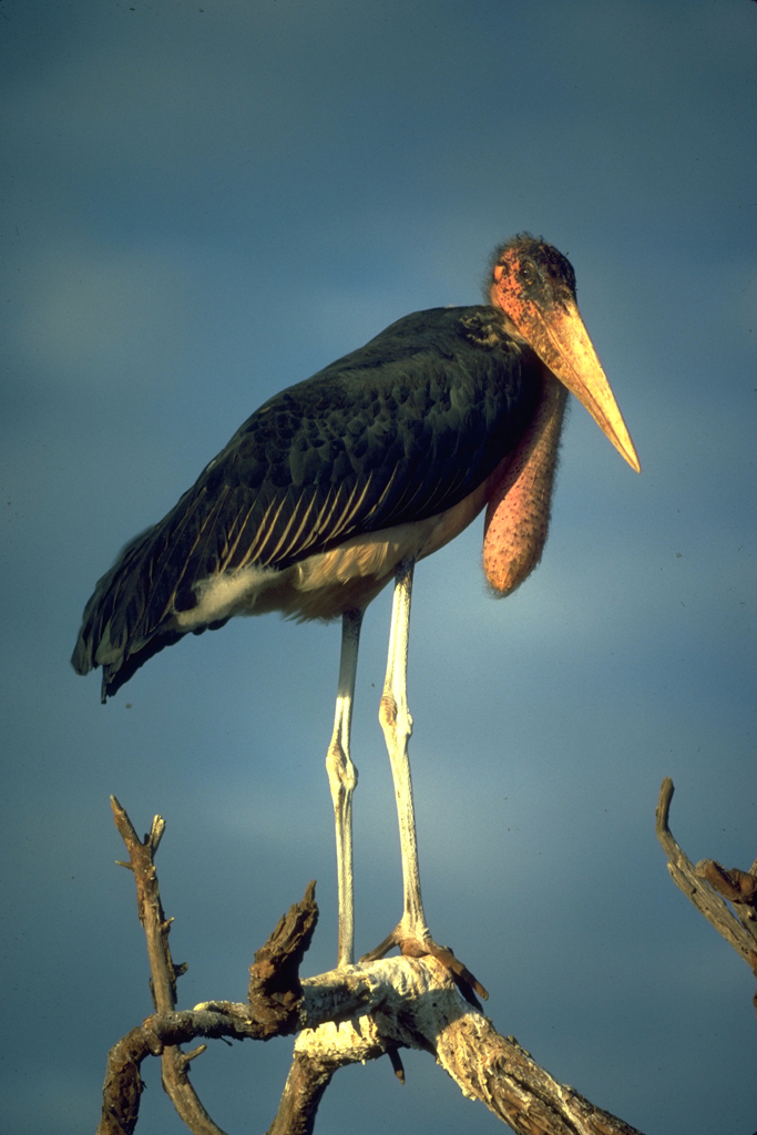 Maribou stork near Lake Turkana, Kenya