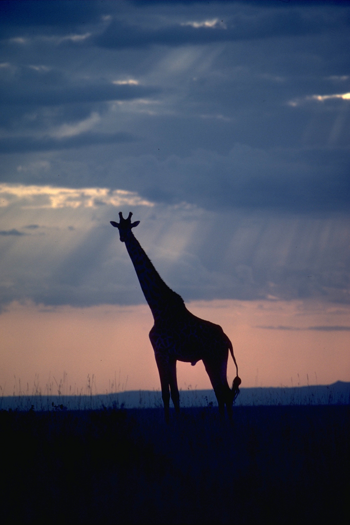 Giraffe in Masi Mara for The New York Time Sunday Magazine