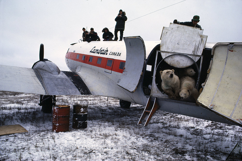 Polar bear release near Churchill, Manitoba