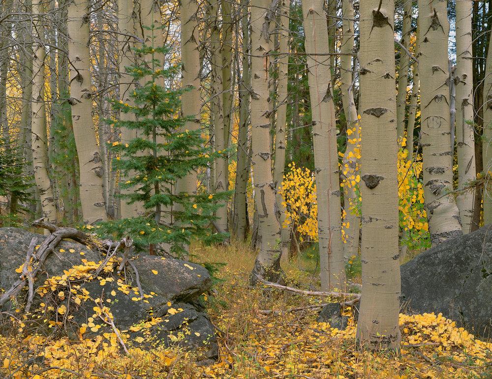 Aspen Grove and Pine.jpg
